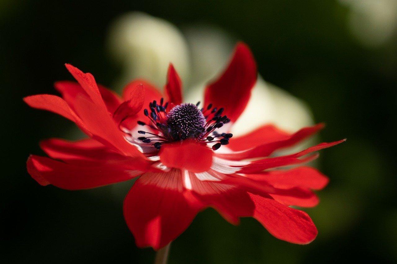 anemone-6288318.jpg